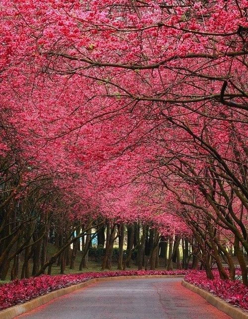 Cherry Blossom Tree At The Fuji Volcano Description From Pinterest Com I Searched For This On Bing Com Image Beautiful Tree Nature Wallpaper Spring Wallpaper