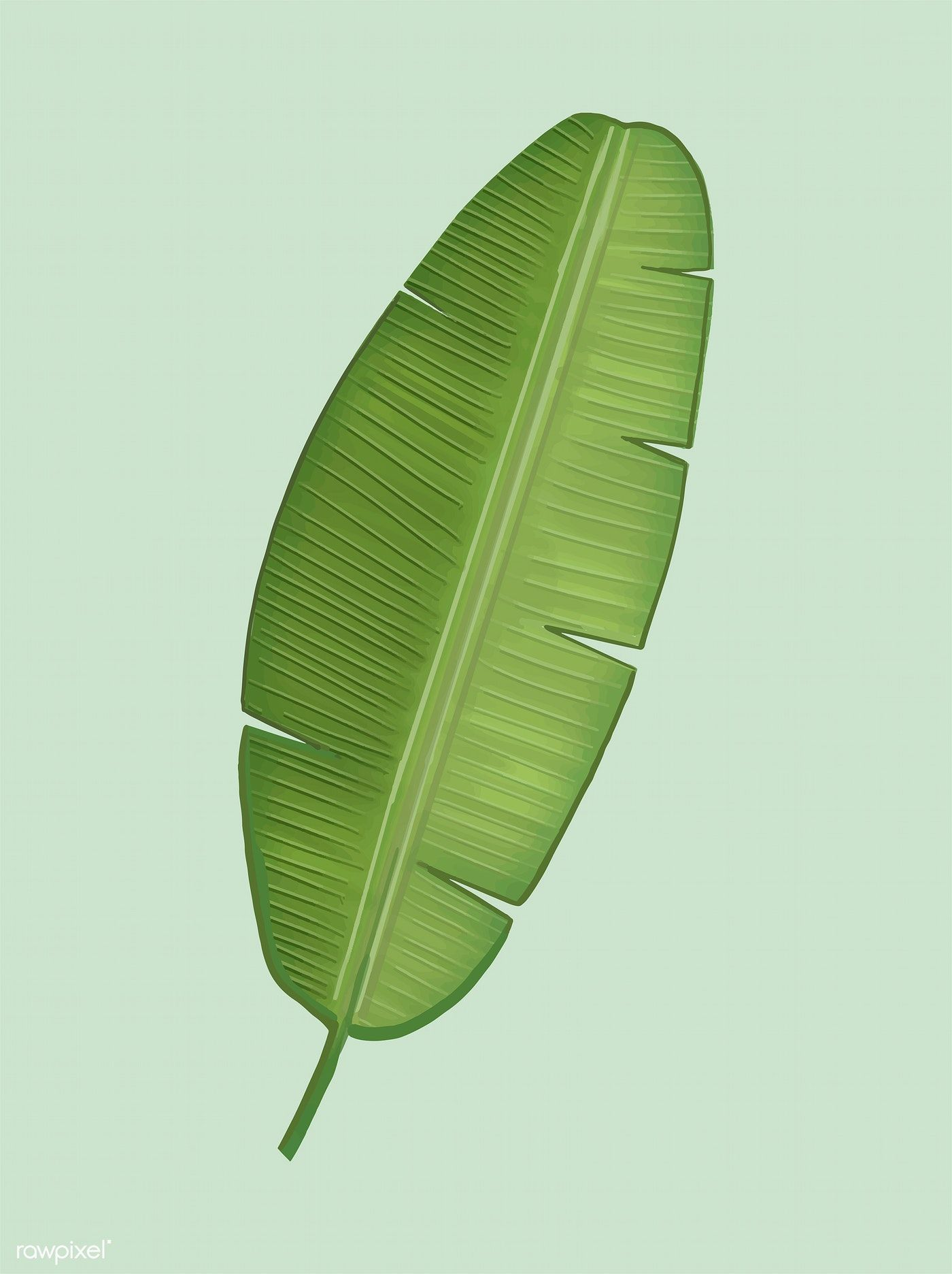 Tropical Green Banana Leaf Illustration Free Image By Rawpixel Com Leaf Illustration Banana Leaves Image Banana Leaf