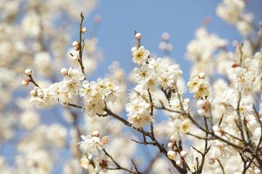 서울 여의도공원 벚꽃