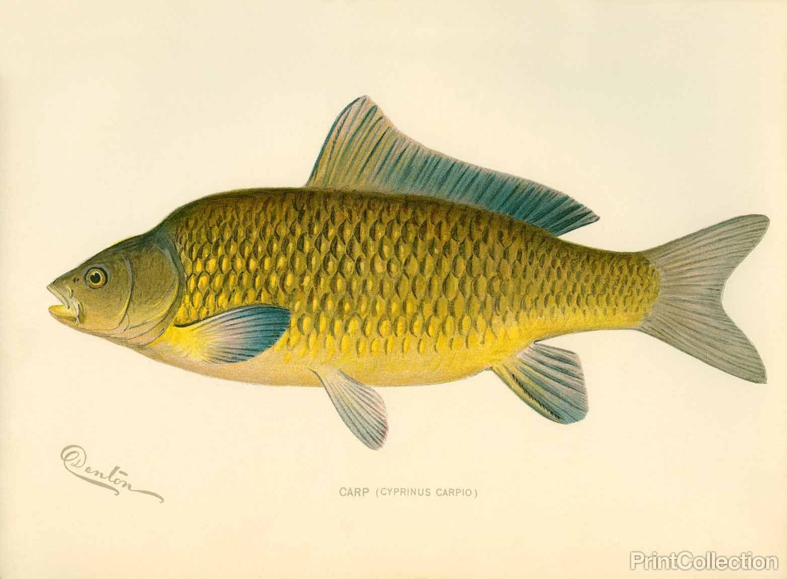 Thunnus thynnus, Bluefin Tuna, side view. | Illustrations