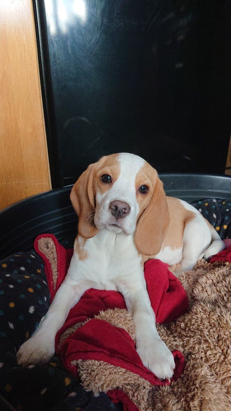 Maya Like Butter Wouldn T Melt Beagle Puppy Beagle Animals