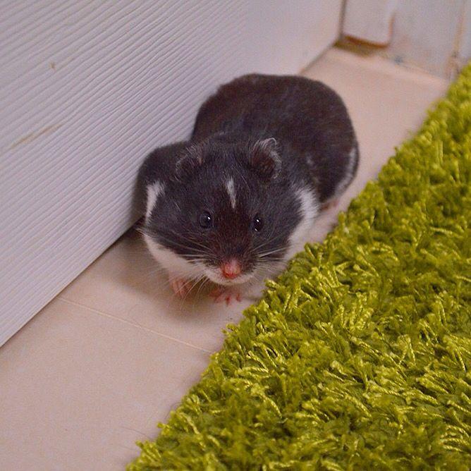 Black Dominant Spot Syrian Hamster Syrian hamster, Dark