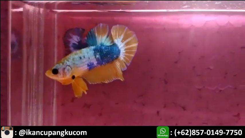 Foto Cupang Fancy | Ikan cupang, Ikan