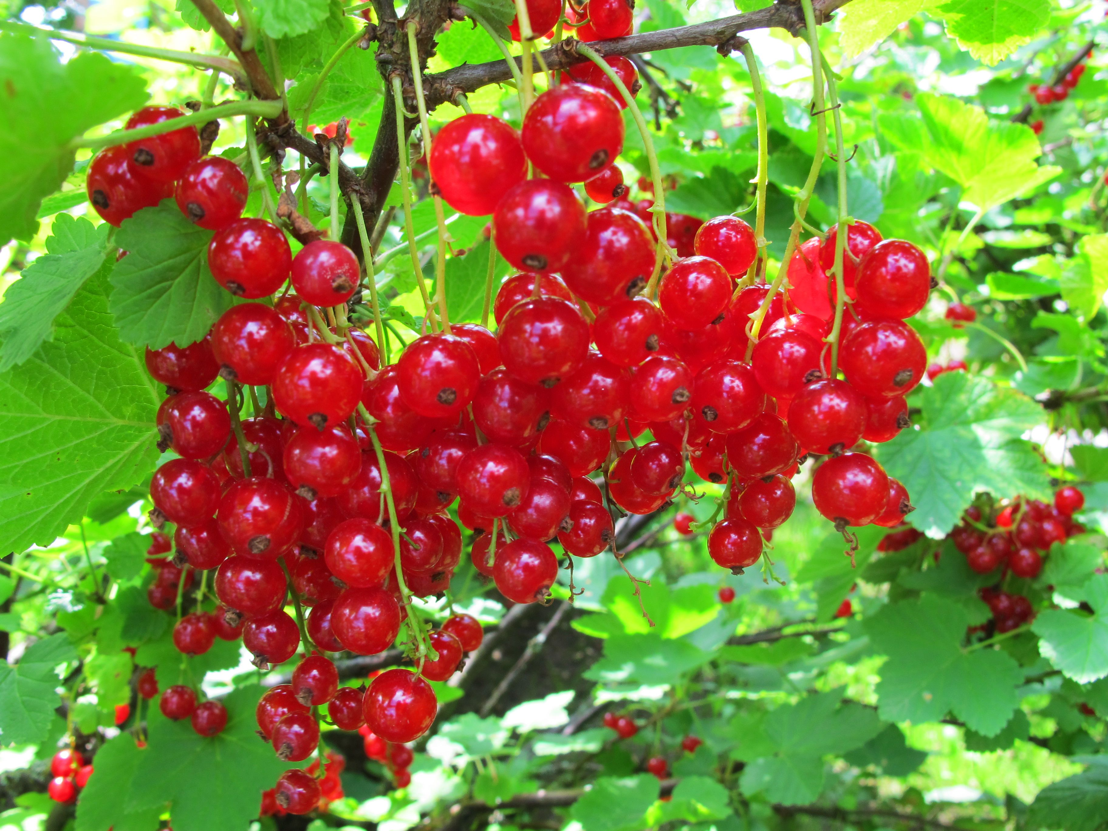 Red Currants | Types of berries, Red currant, Fruit plants
