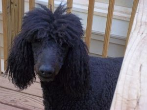 Adopt Rupert On Dogs Poodle Poodle Rescue