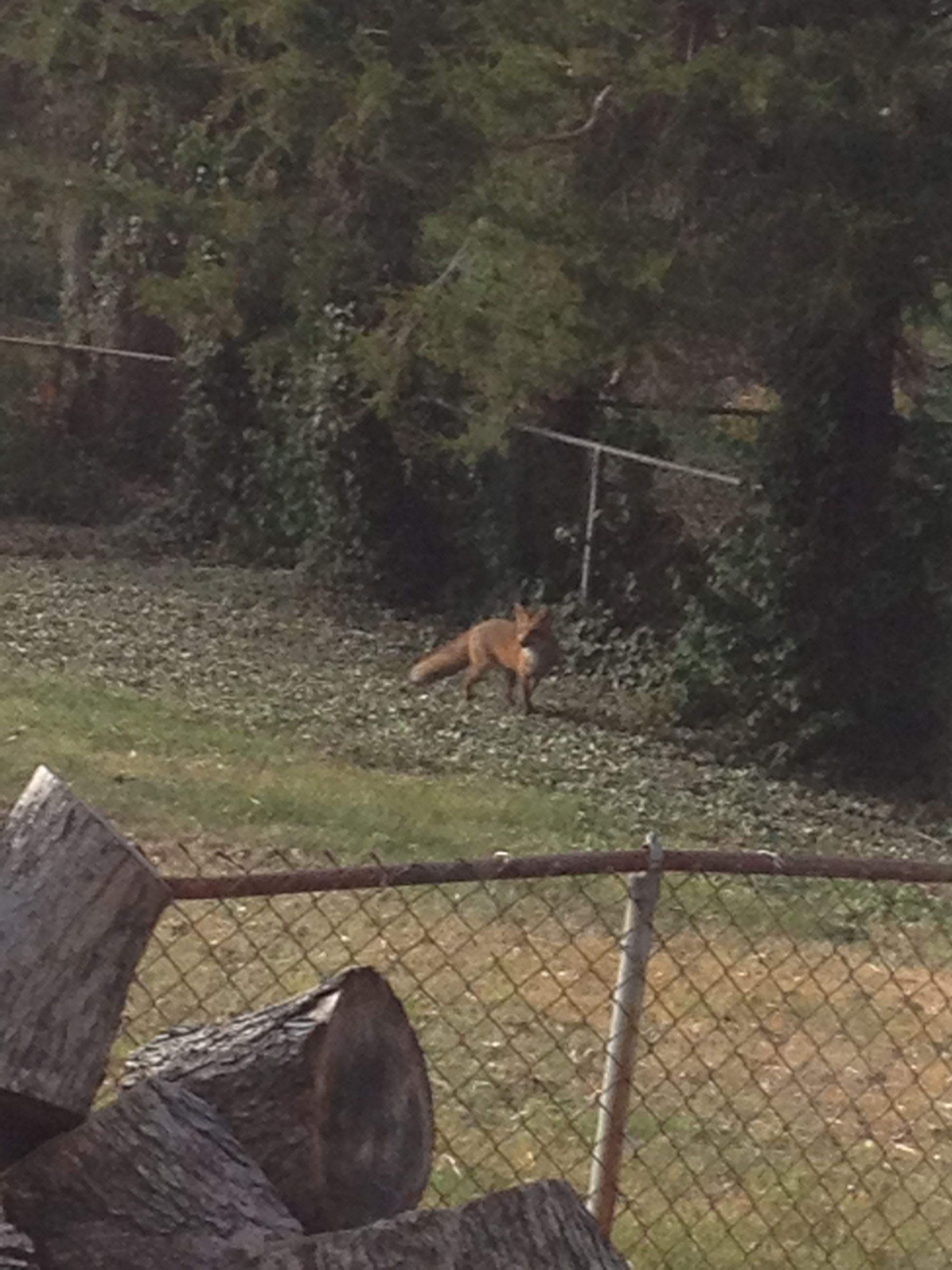 Fox in my yard (With images) | Animals, Yard, Fox