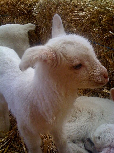Amost A Real Goat But Not Quite Cuddly Animals Cute Animals Goats