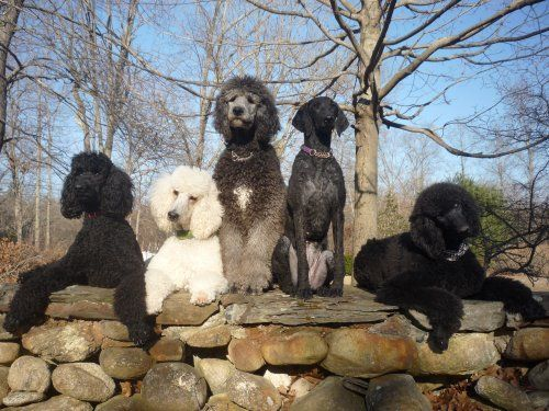 Portrait Of Standard Poodles At Apaw Which Is A Breeder Trainer