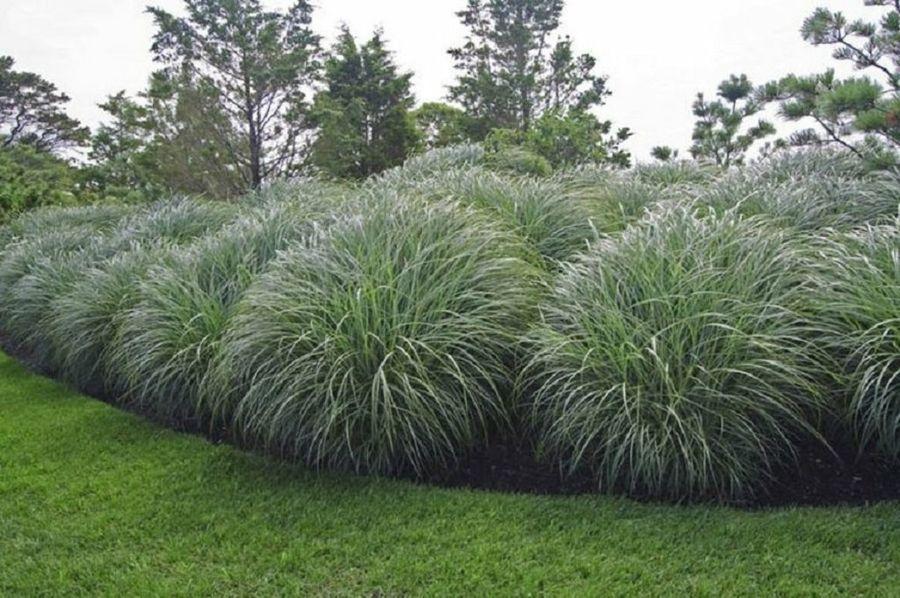 Jardines en los que las gram neas ornamentales son for Gramineas ornamentales vivero