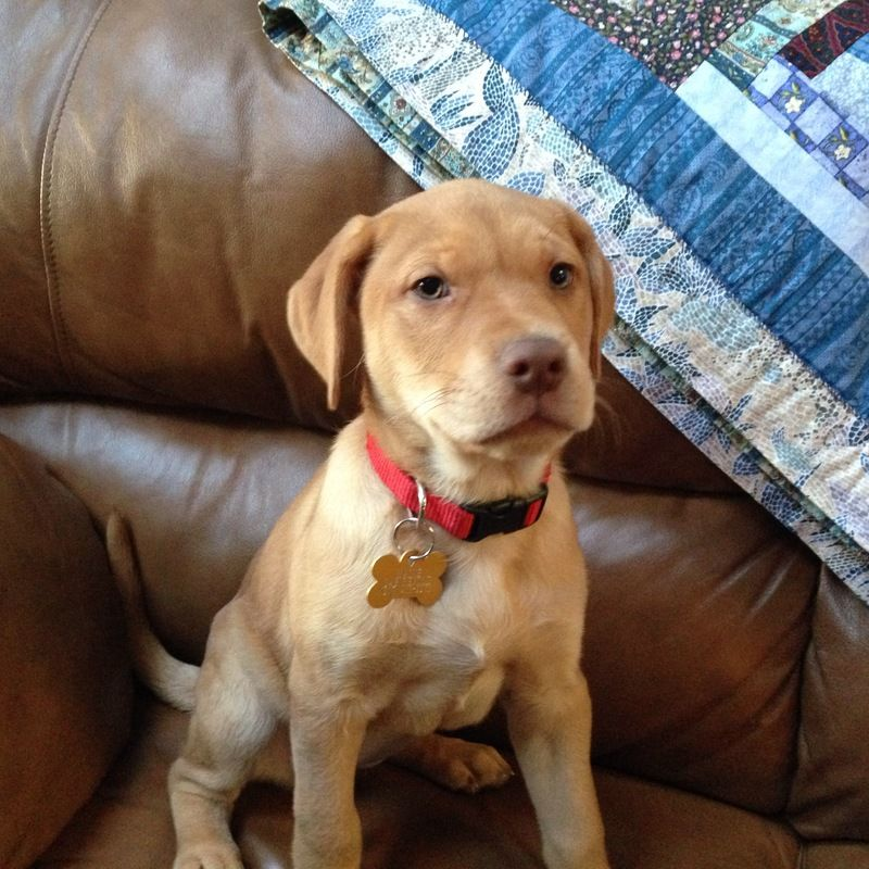 Adopt Bell In Maine On Puppies Terrier Mix Dogs Animals
