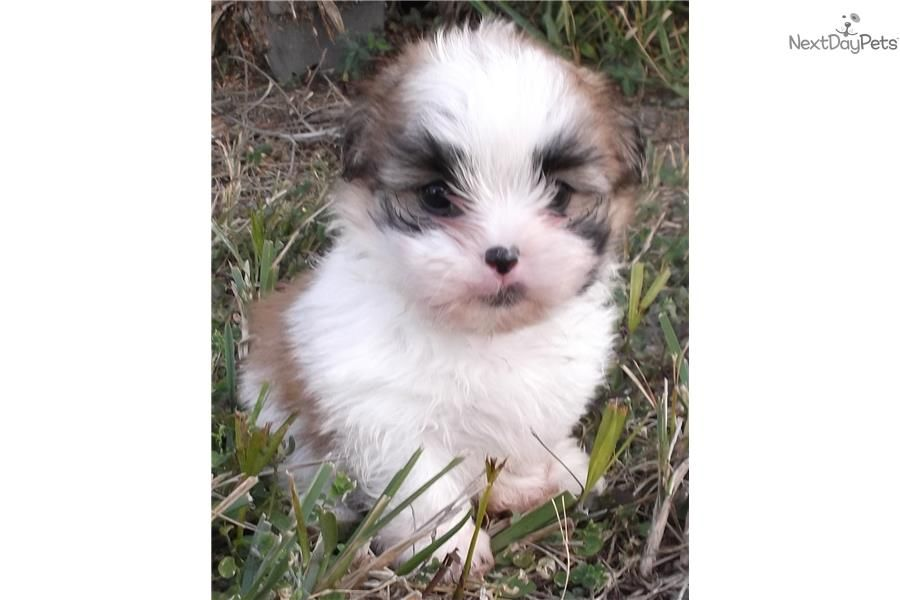 Miki Puppy For Sale Near West Palm Beach Florida 5563c378 9c31