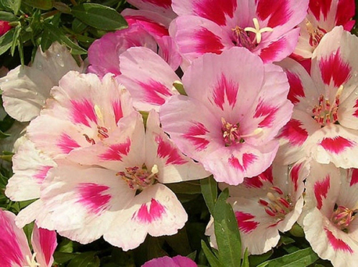 Usa Seller Godetia Farewell To Spring Mix 35 Seeds Flower Seeds Popular Flowers Partial Shade Plants