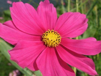 Cosmos Flowers Cosmos October Birth Month Flower Cosmos Flowers Birth Month Flowers Month Flowers