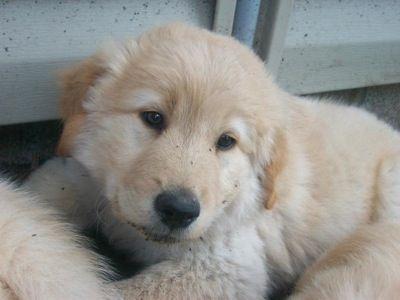 Golden Retriever Samoyed Puppy Golden Sammy Hybrid Dogs