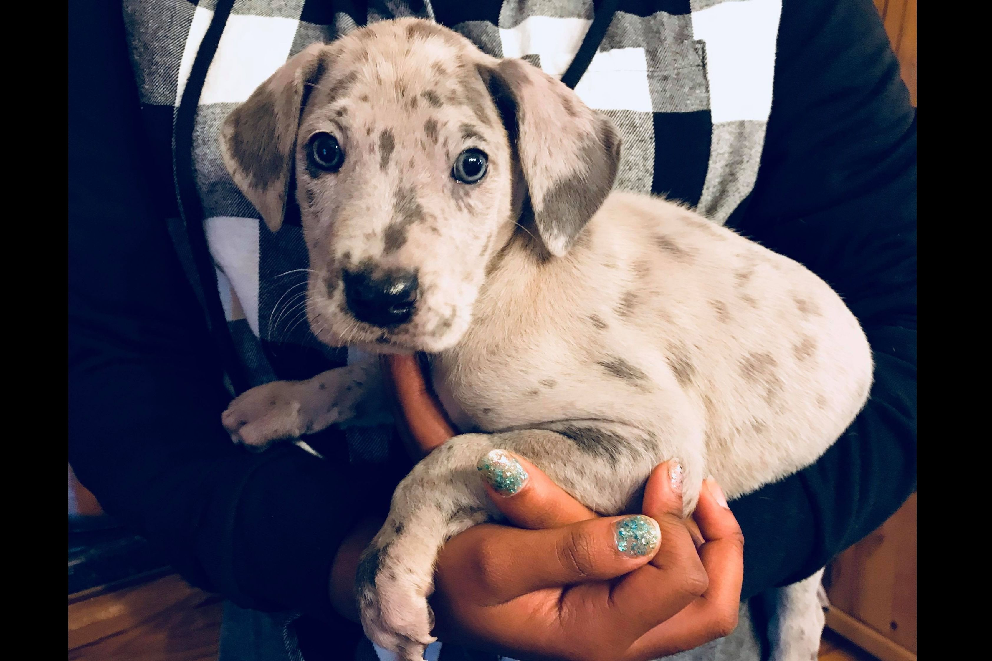 Schlichter Danes Has Great Dane Puppies For Sale In Bryant In On Akc Puppyfinder Great Dane Great Dane Facts Dane Puppies