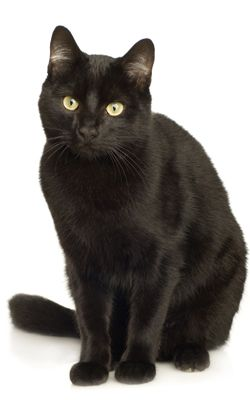 I have a black male cat who looks like this. His name is