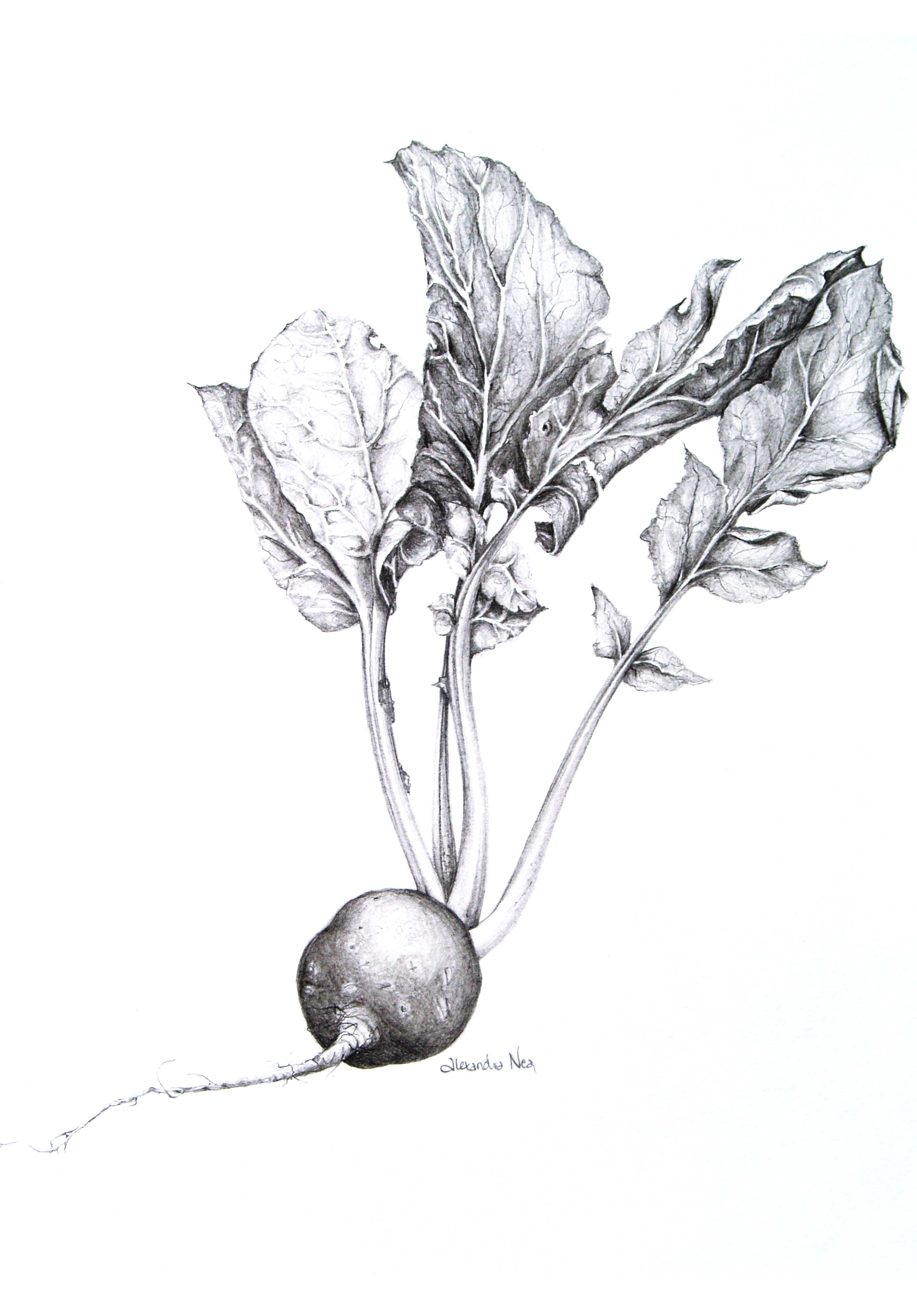 Vintage Illustration Beetroot