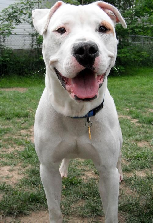 Aww I Want This Dog Porkchop From Paws And Prayers Soooo Badly He S A Dogo Argentino And American Bulldog Mix Dogs Dogo Argentino Dog American Bulldog Mix