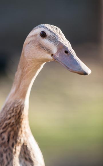 Laufenten Tipps Zur Haltung Und Pflege Enten Enten Bilder Und Huhner Als Haustiere