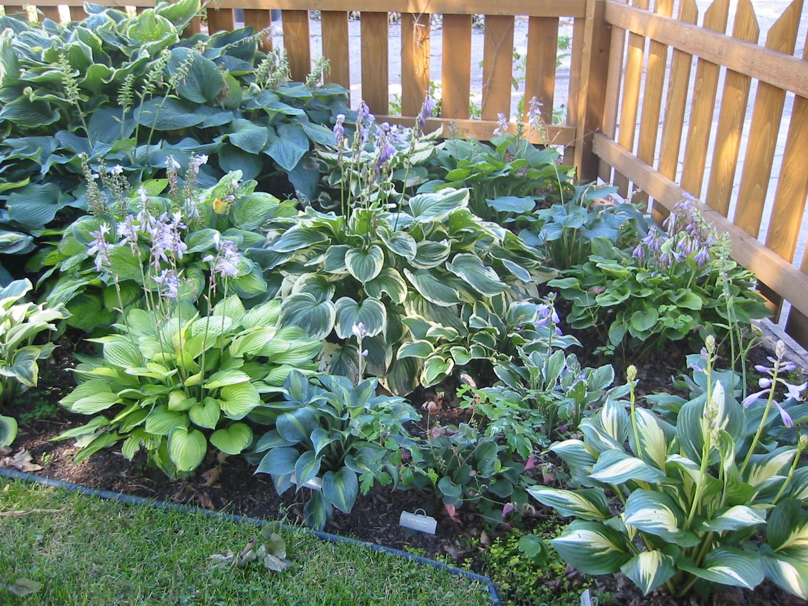 More Hosta Garden Ideas For Out Shady Backyard.