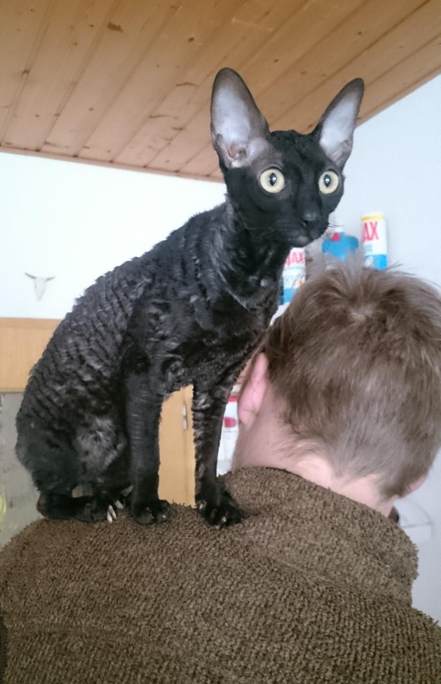 Cat Parrot My Young Cornish Rex Cat Yolandi Likes To Sit On Shoulders Yes This Cat Looks A Little Different To The Average Cat B Cornish Rex Cat Rex Cat Cats