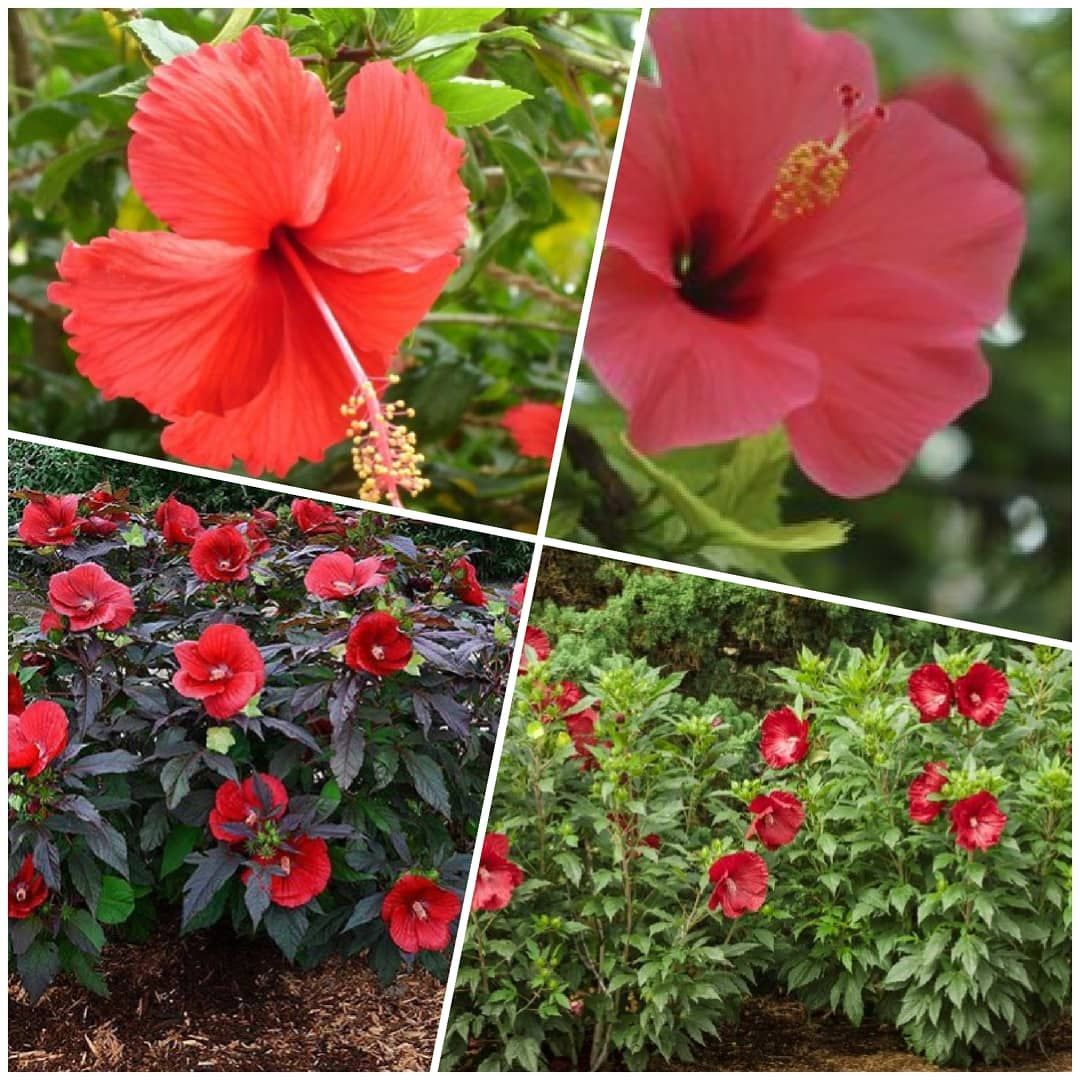 Flowers mallow - decorative plant in your country house