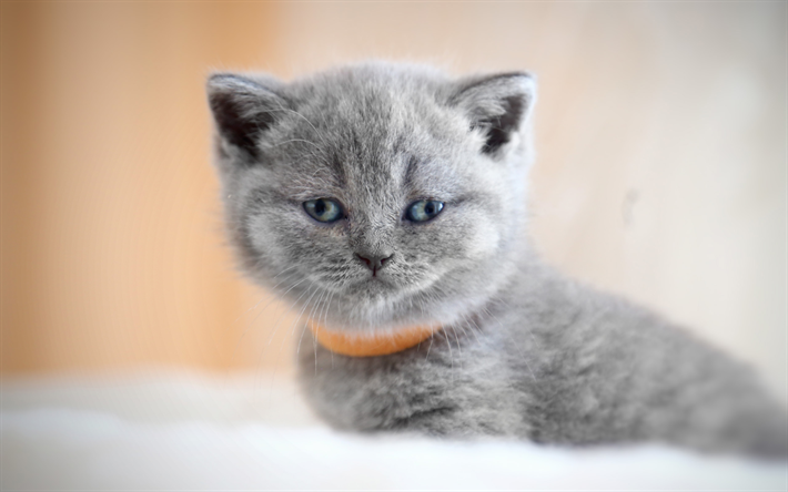 Charming British kittens: what to feed the kids