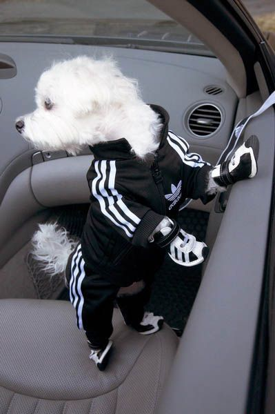 adidas dog track suit and sneakers