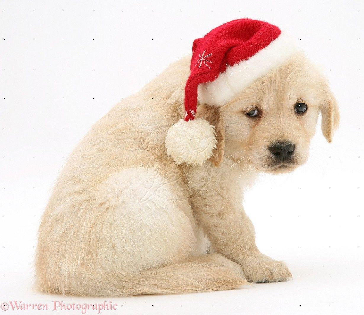 Golden Retriever Pup Wearing A Santa Hat Golden Retriever Dogs Santa Paws