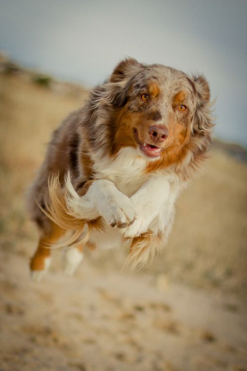 Red Merle Australian Shepherd For Derpy Greyhound On Qualitydogs Tumblr Com Dogs Dogs Dog Lovers Aussie Dogs