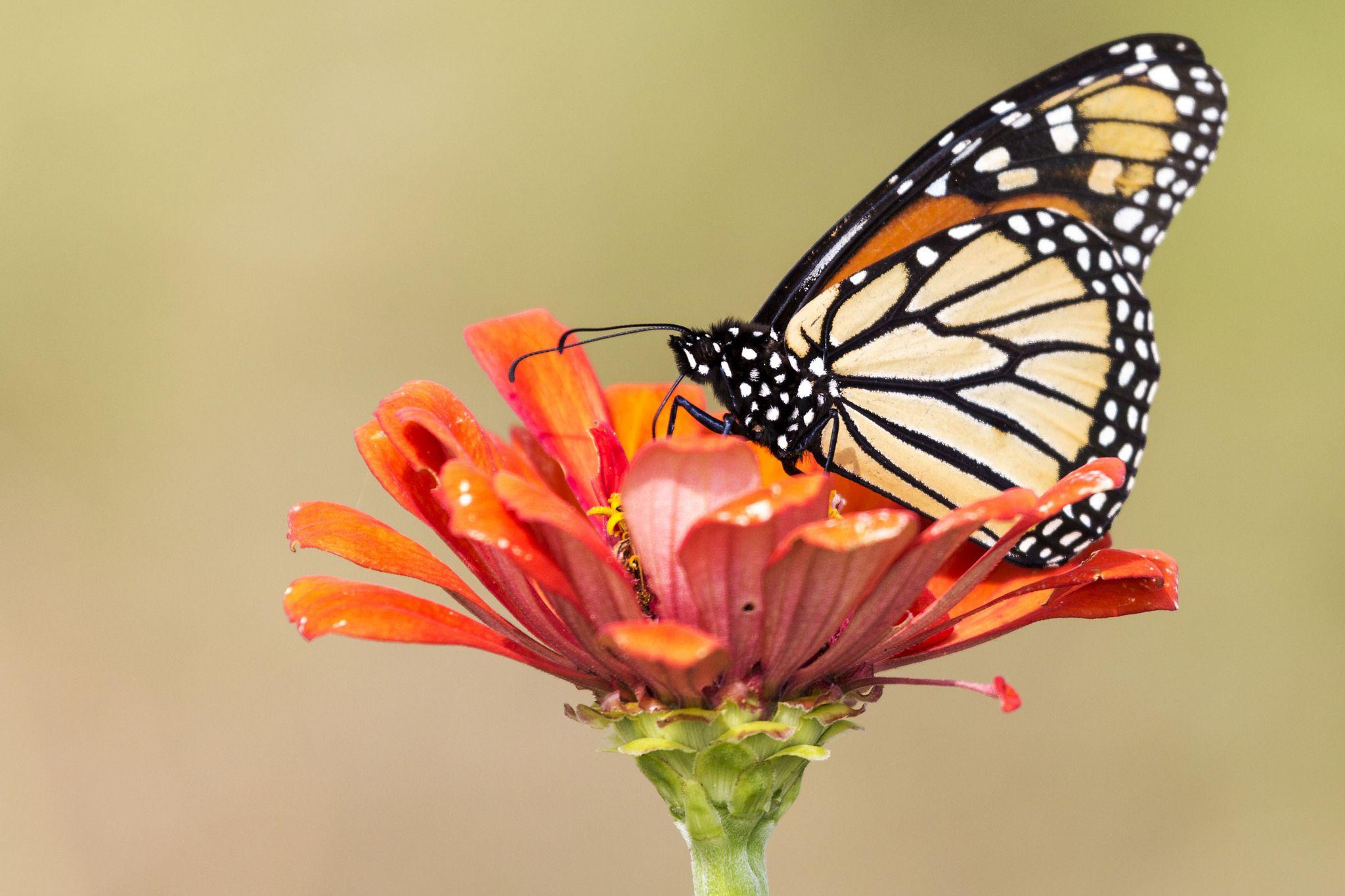monarch-butterfly-on-orange-flower.jpg (2048×1365)