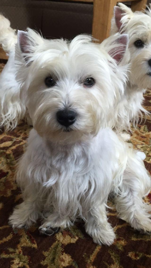 Dahlonega Westies Westhighlandterrier Cascadingwestiesofgeorgia Ilovewesties West Highland Terrier Westie Terrier Cute Dogs