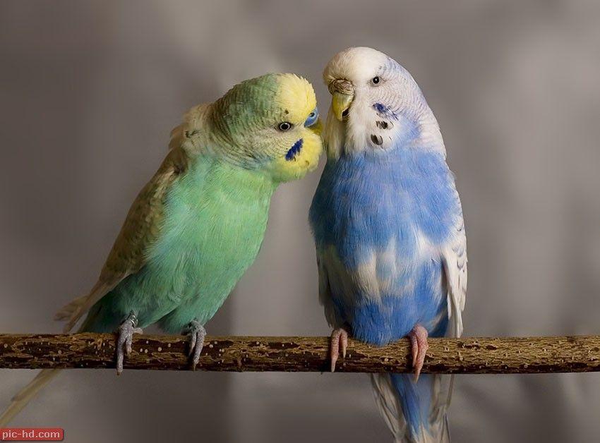 صور العصافير اجمل خلفيات عصافير الكناريا Animals Parrot Cute