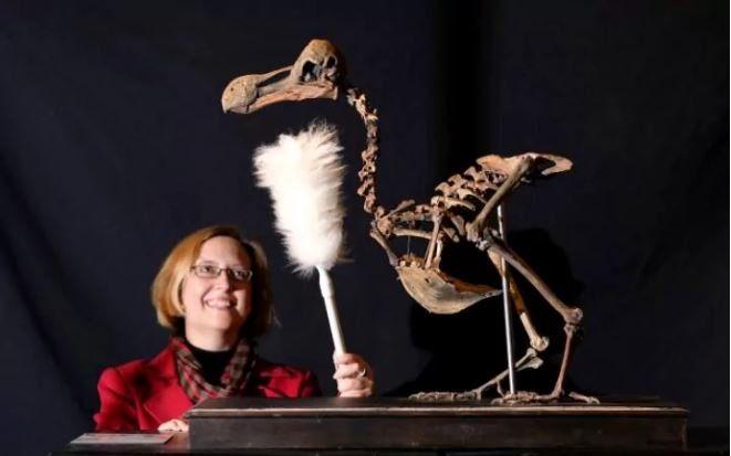 Un extremadamente raro fósil completo de dodo puesto a subasta en Sussex, Reino Unido (Christopher Pledger, 2016)