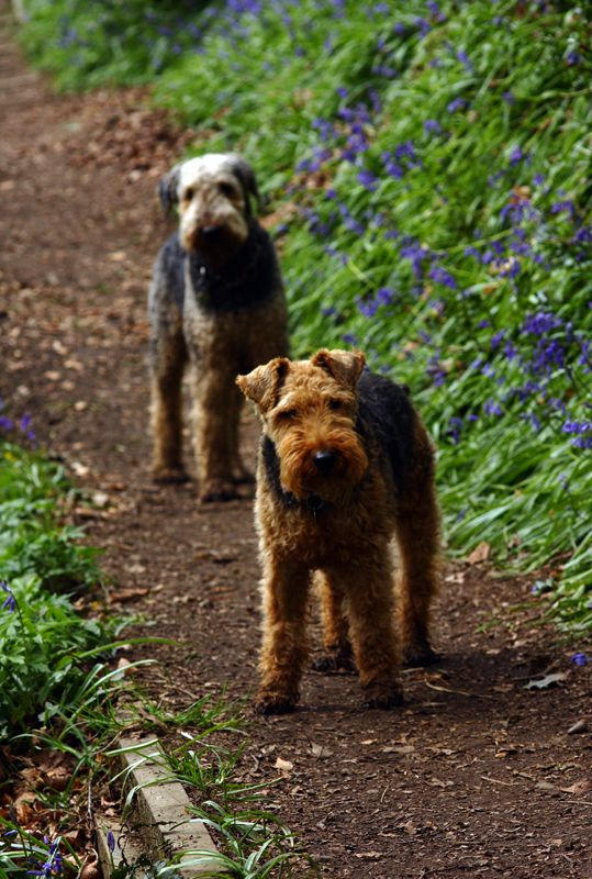 14 Versatile Facts About the Airedale Terrier | PetPress