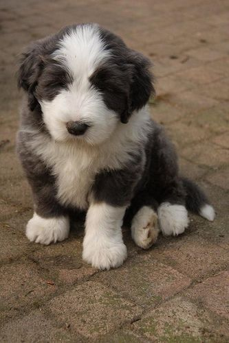 Bearded Collies Pup I Am A Real Boy Bearded Collie Puppies