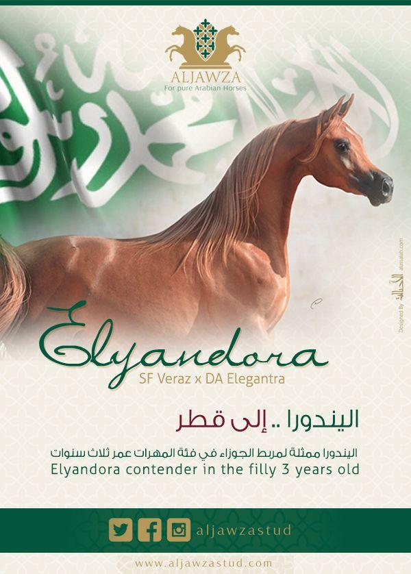 مربط الجوزاء اليندورا إلى قطر Arabian Horse Filly Horses