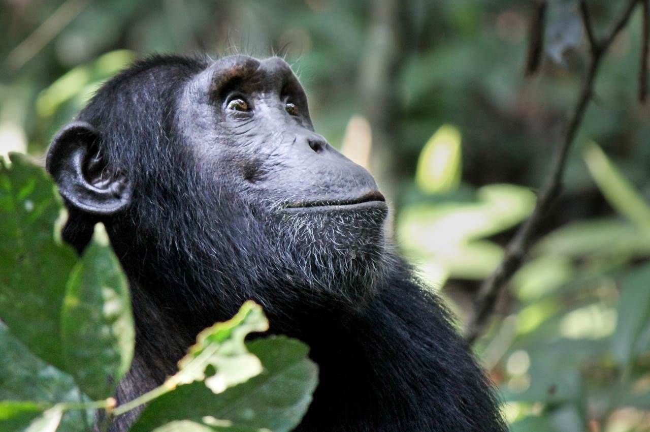 Rwanda Holidays & Safari Chimpanzee, Africa holiday