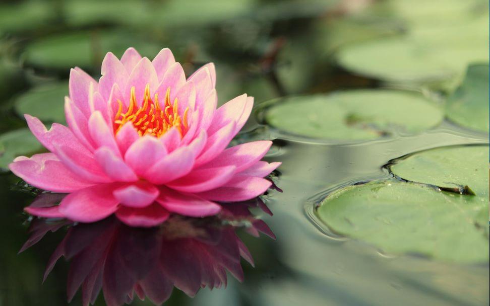 Bunga Teratai Kendari Sultra Indonesia Bunga Teratai Bunga Wallpaper Bunga