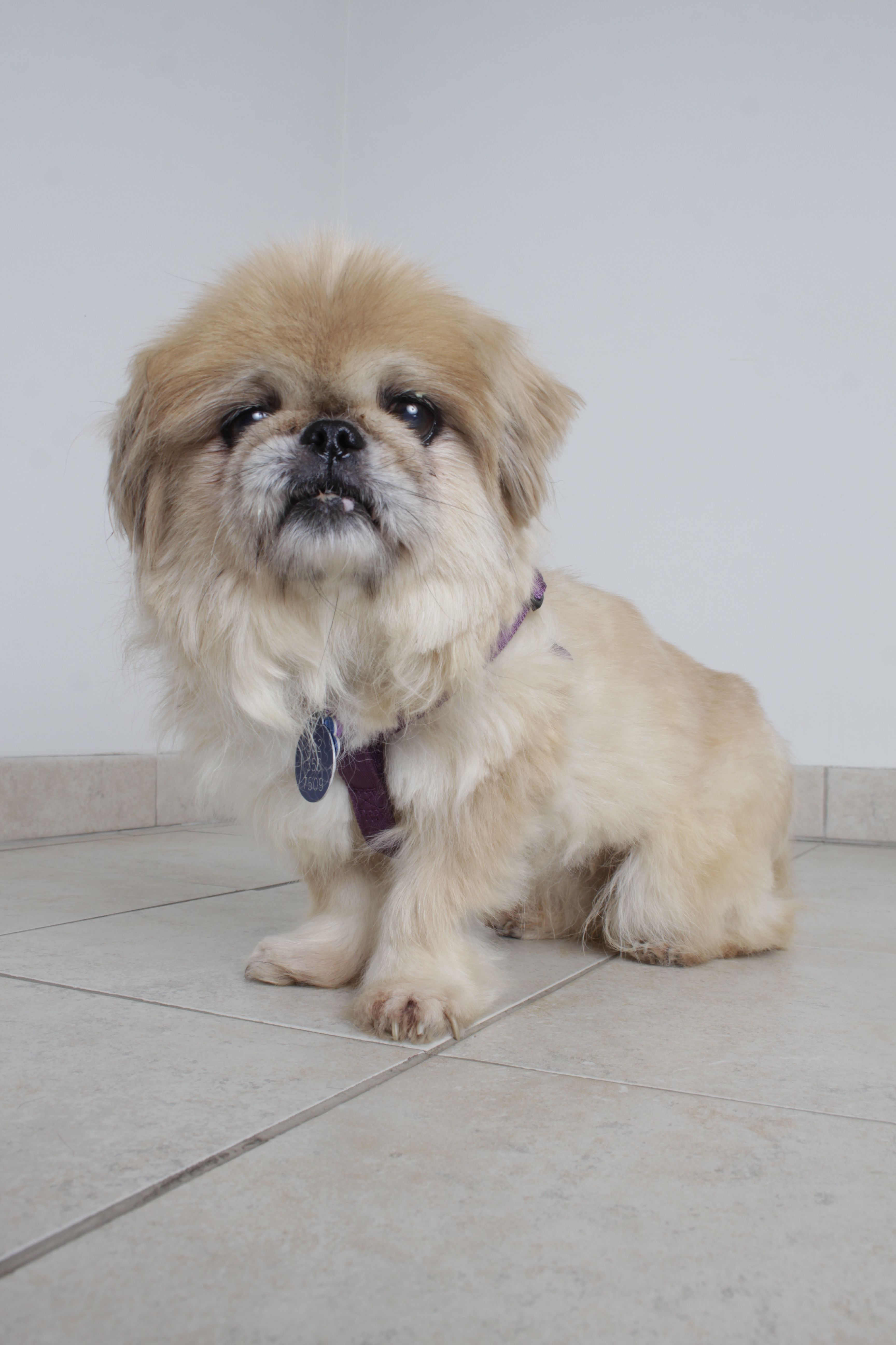 Pekingese Dog For Adoption In Eden Prairie Mn Adn 712313 On Puppyfinder Com Gender Female Age Senior Dog Adoption Pekingese Dogs Pekingese