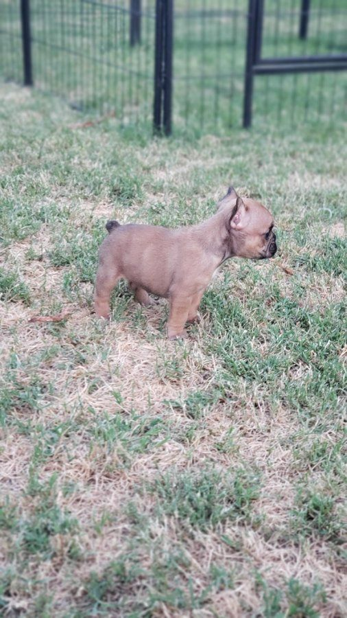 French Bulldog Puppies Akc In 2020 French Bulldog Puppies Bulldog Puppies French Bulldog Breed
