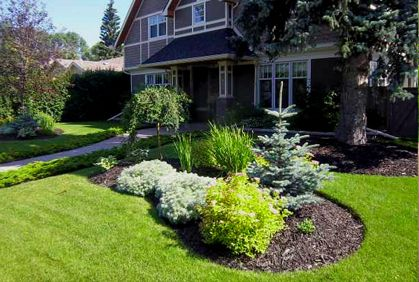 evergreen trees landscaping