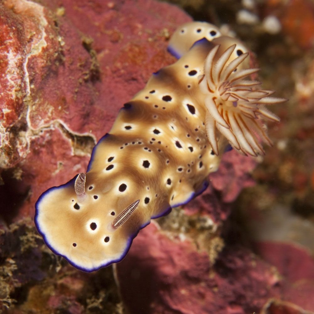 nudibranch (Risbecia tryoni) | by bodiver