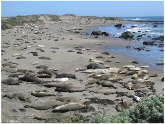 Elephant Seals At Piedras Blancas Beach Near Hearst Castle California Photo C