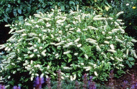 White flowering shrubs lilac sensation fragrant for Large flowering shrubs