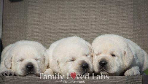 Family Loved English Labrador Retriever Puppies English White