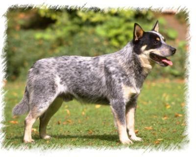 Queensland Heeler Such Good Dogs 3 And My Future Puppy Dog Breeds Cattle Dog Australian Cattle Dog