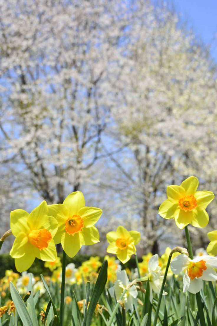 14 Facts Every Daffodil Lover Needs To Know Daffodil Gardening Daffodil Flower Daffodils