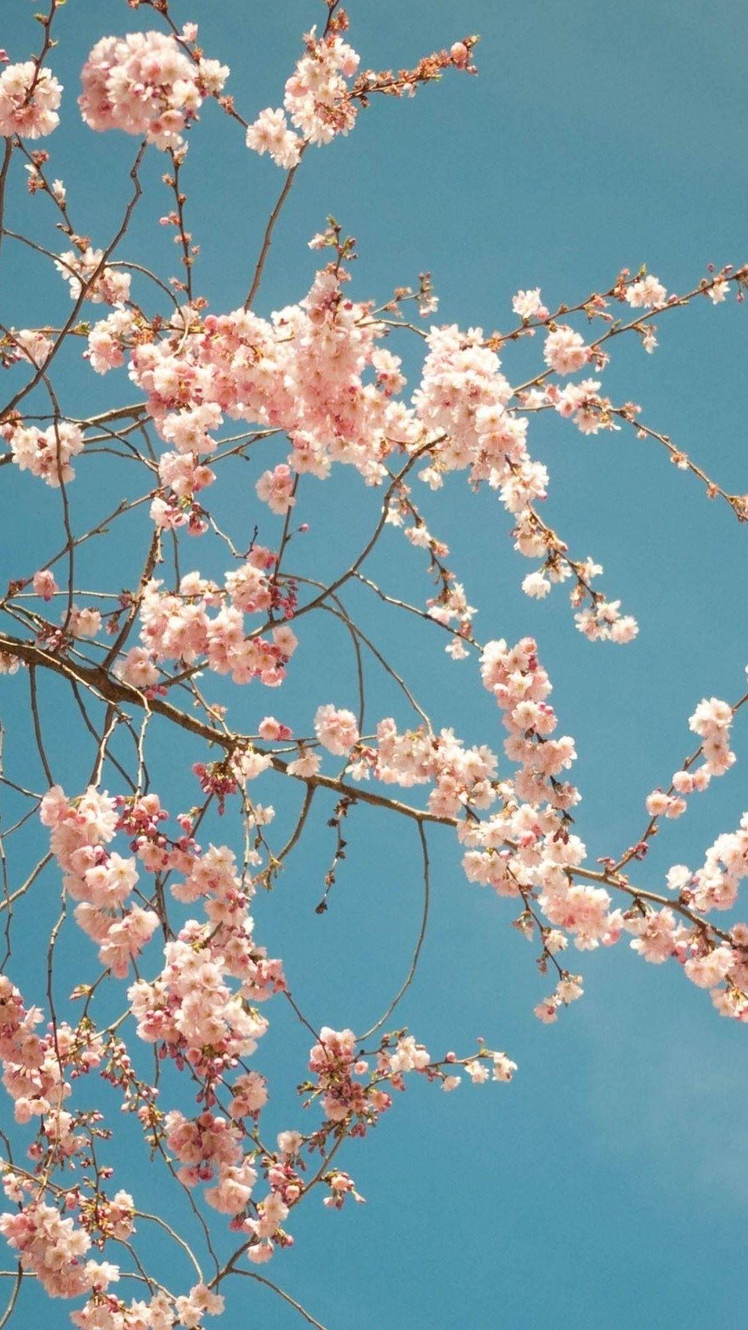 Cherry Blossom Tree Iphone 6 Plus Hd Wallpaper Cuteiphonewallpaperstumblr Iphonewallpapers Manzara Fotografciligi Resim Duvari Resim