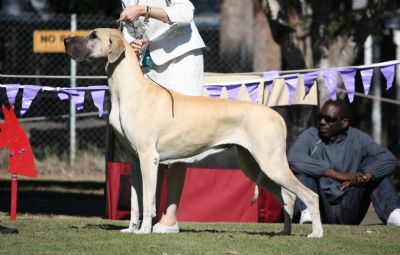 Kochak Reinstaft Great Danes Dogs Dog Breeds Puppies